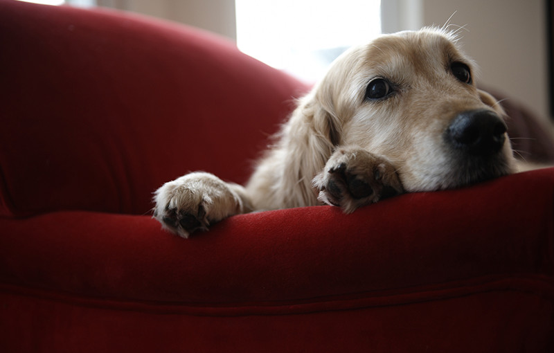Golden Retriever Dog Lying On Sofa Close Up Everdry Toledo
